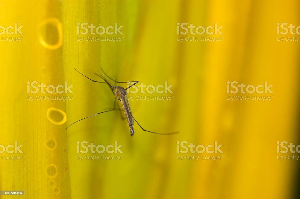 Mosquito stands on yellow leafs stock photo
