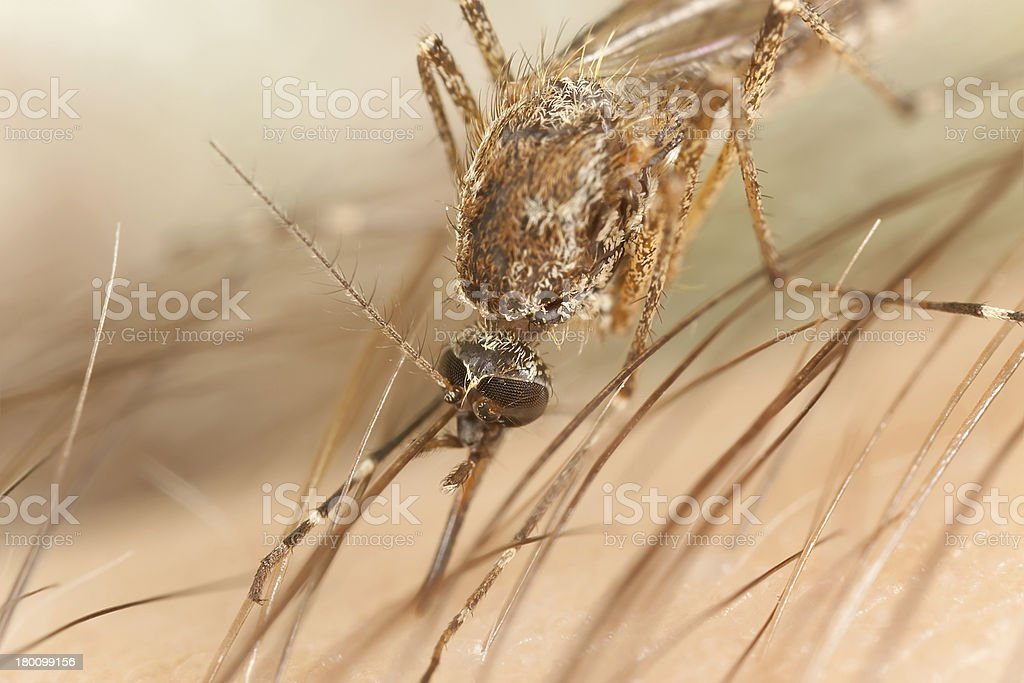 Mosquito sting, extreme close-up royalty-free stock photo