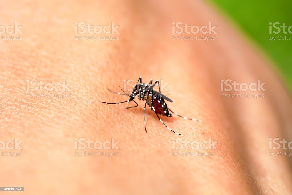 A mosquito sucking a blood from the skin stock photo