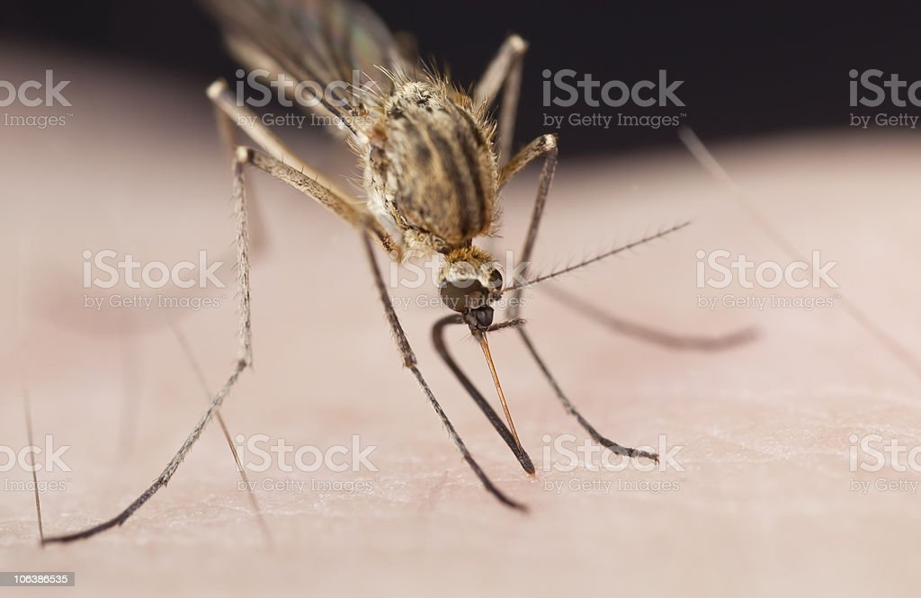 Mosquito sucking blod. royalty-free stock photo
