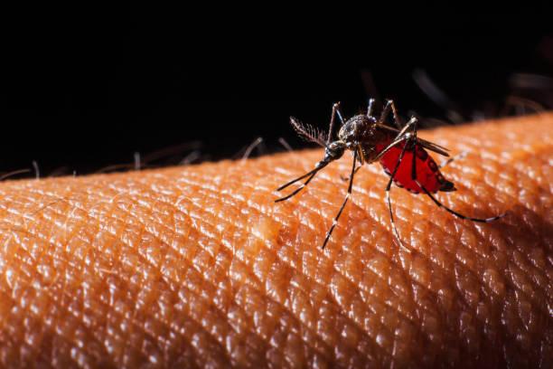 mosquito sucking blood. Close-up stock photo