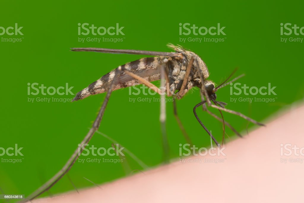 Mosquito sucking blood from human stock photo