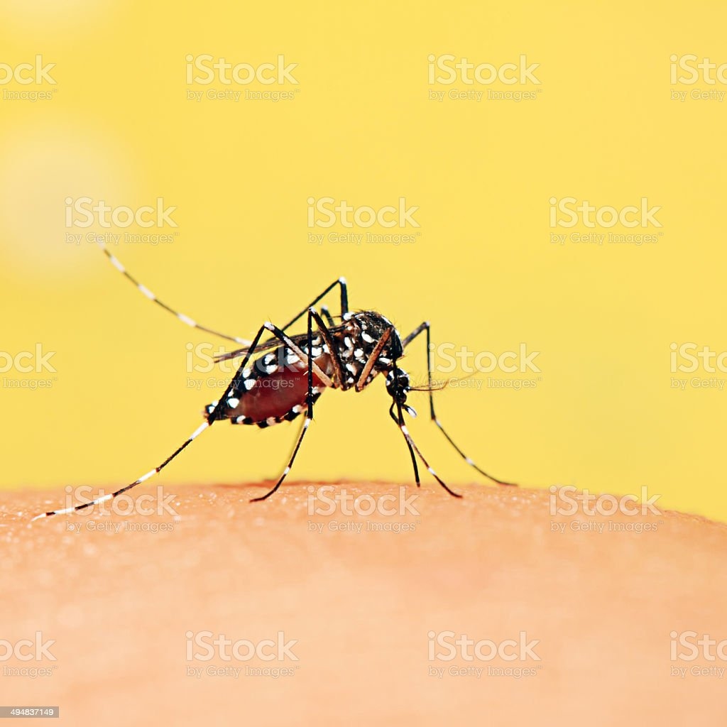Mosquito sucking blood from people. stock photo