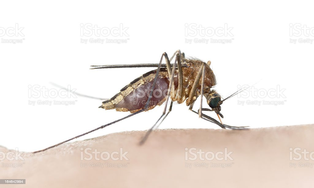 Mosquito sucking blood, macro photo with copy space stock photo