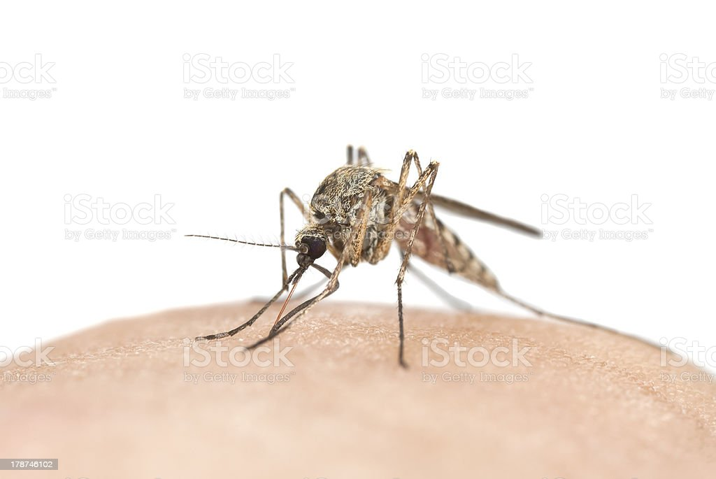 Mosquito sucking blood, macro photo with copy space royalty-free stock photo