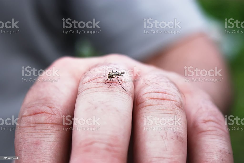 mosquito sucking blood on the man skin Little mosquito sucking blood on the man skin. Virus carrier and repellent concept. Animal Stock Photo