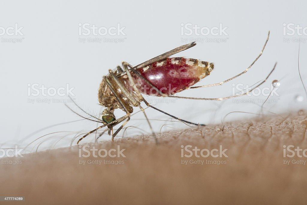 Mosquito sucking blood royalty-free stock photo