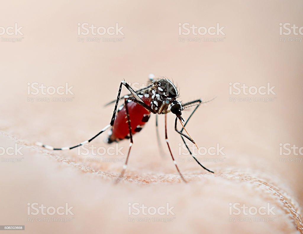 Mosquito sucking blood stock photo