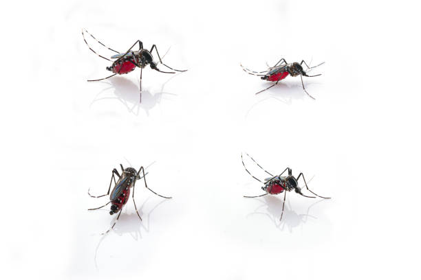 Stechmücken (Aedes Aegypti) Blut saugen. – Foto