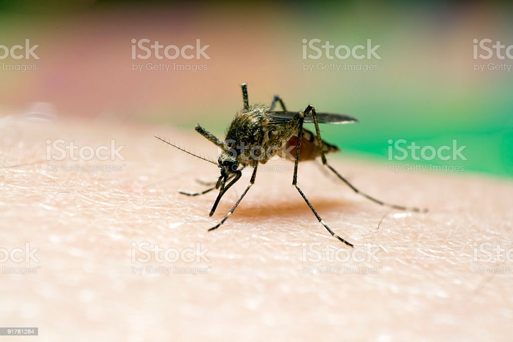 Mosquito sucking blood. royalty-free stock photo