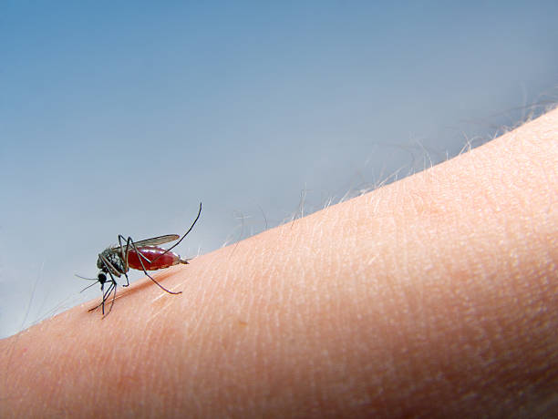 zanzare succhiare il sangue - ovest foto e immagini stock