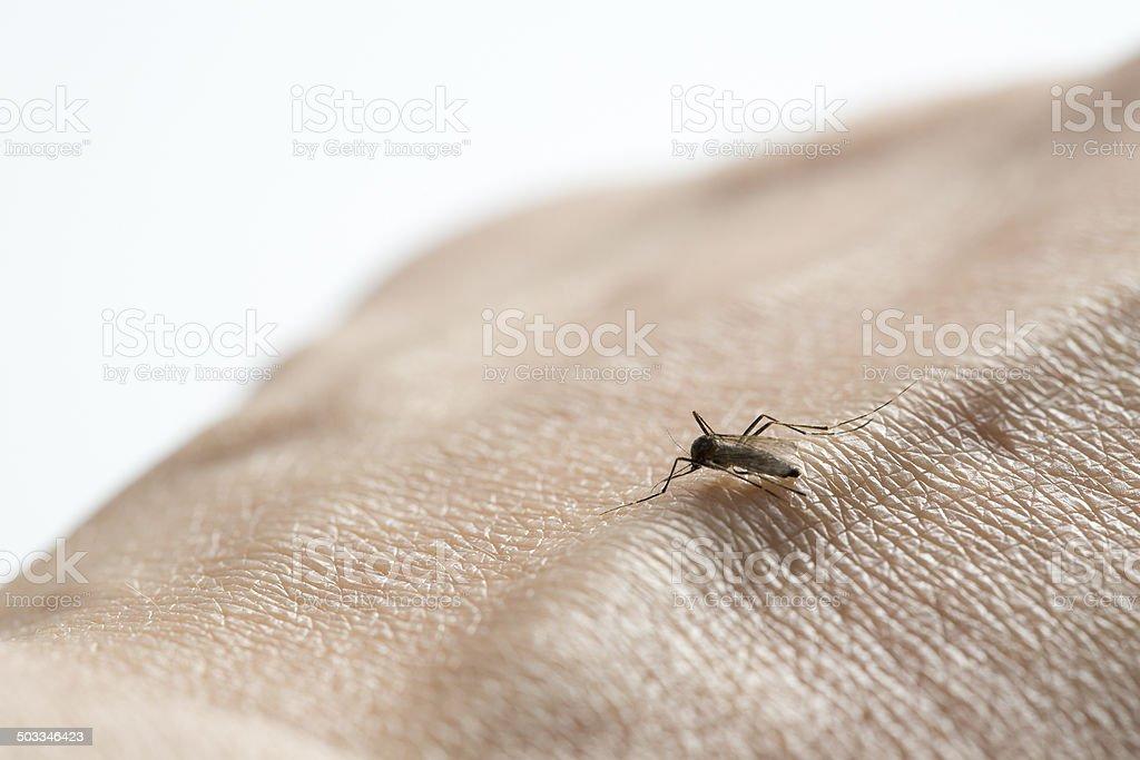 Mosquito sucking blood vein stock photo