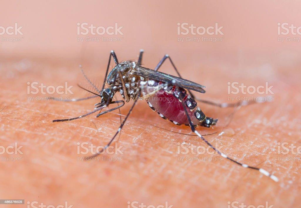 Mosquito sucking blood_set A-3 stock photo
