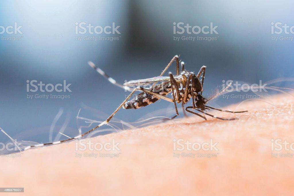 Mosquito sucking blood_set B-1 stock photo