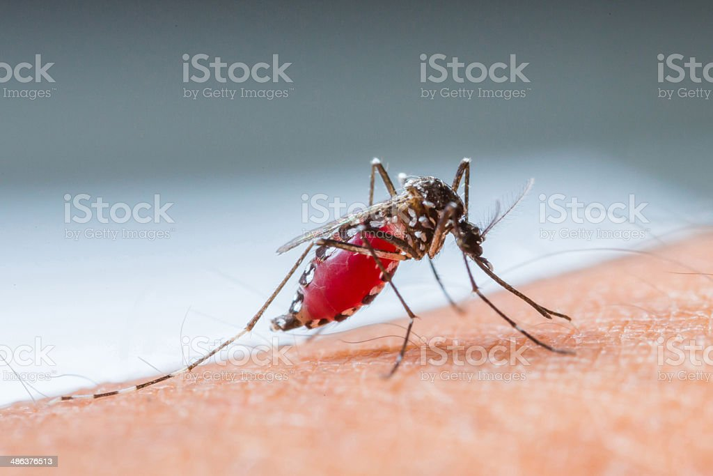 Mosquito sucking blood_set B-4 stock photo