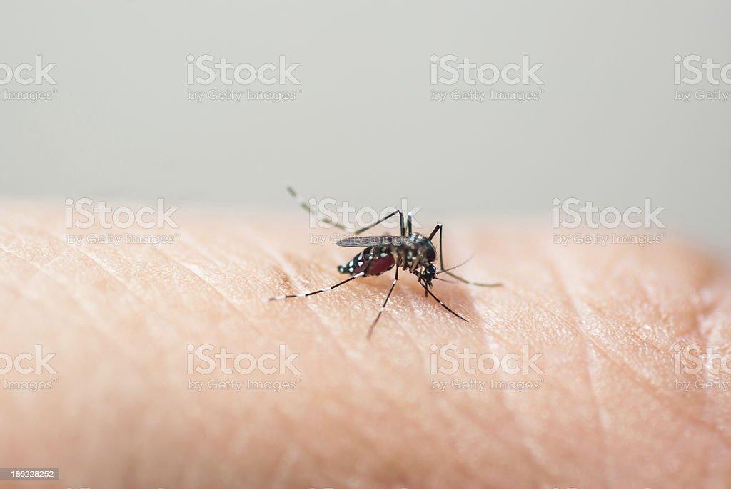 Mosquito sucking human stock photo