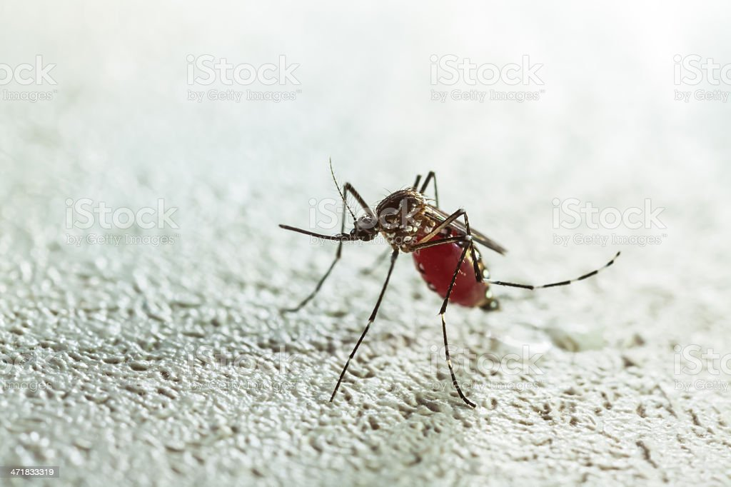 mosquito sucking stock photo
