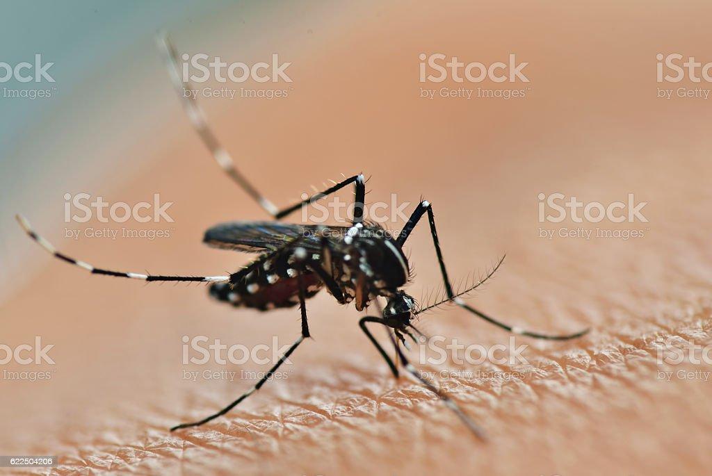 Mosquito sucking stock photo