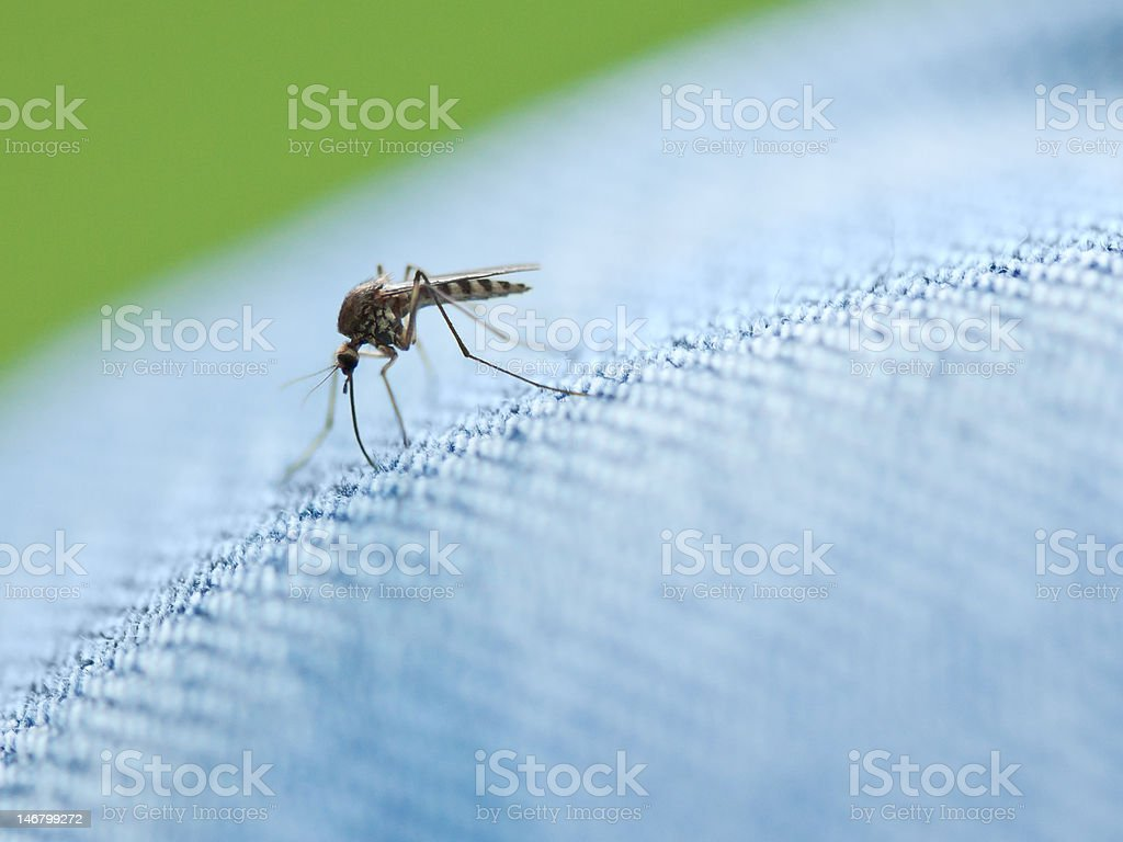 Mosquito trying to sting through the jeans royalty-free stock photo
