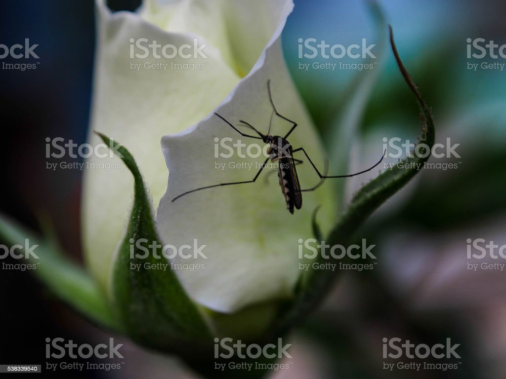 Mosquito-attracted Rose stock photo