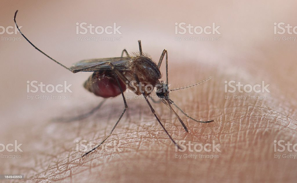 mosquitoes blood sucking royalty-free stock photo