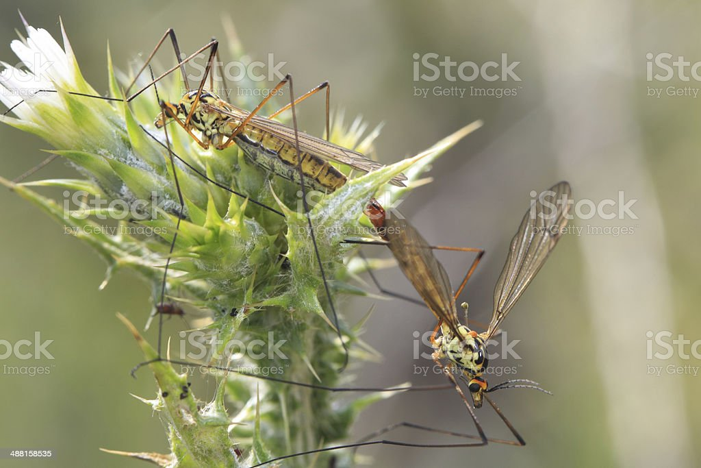 Moustiques - accouplement stock photo