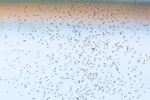 mosquitoes swarming in summer - swarm of insects stock photos and pictures