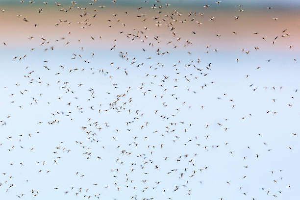 mosquitoes swarming - swarm of insects stock photos and pictures