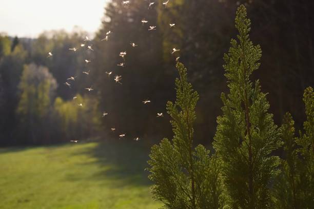 Mosquitos flying in sunset light stock photo