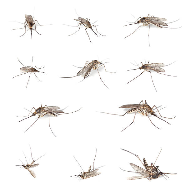 Mosquitos isolated on white background.​​​ foto