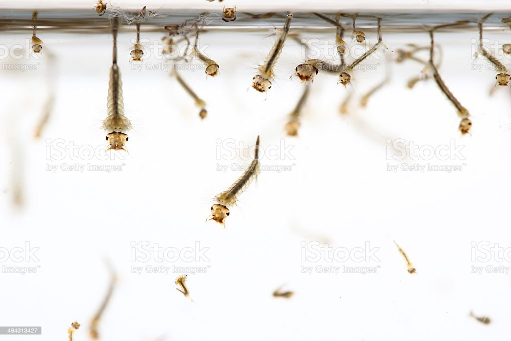 mosquito's larva stock photo