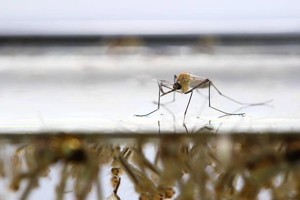 mosquito's larva stock photo