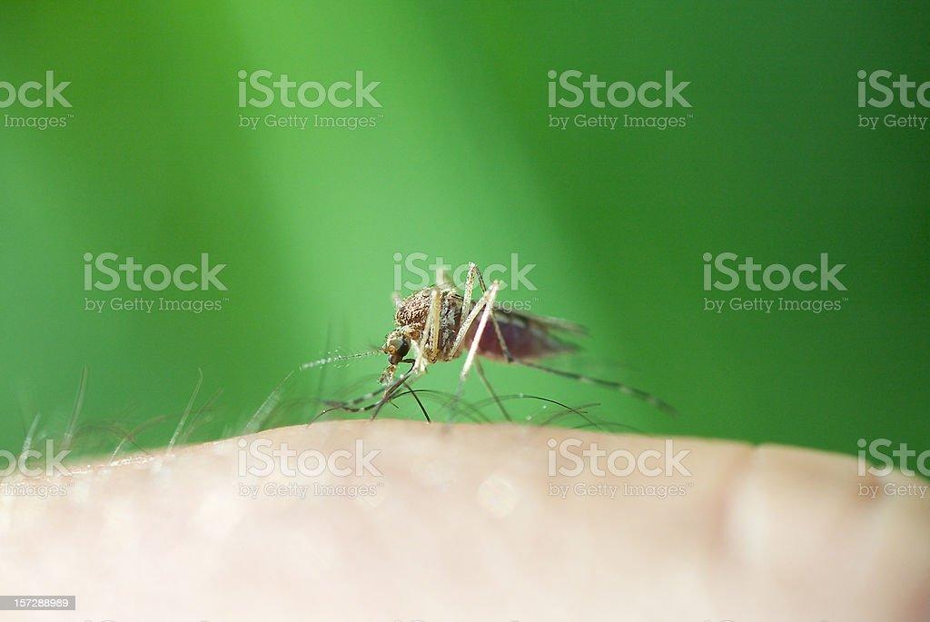 Mücken saugen! – Foto