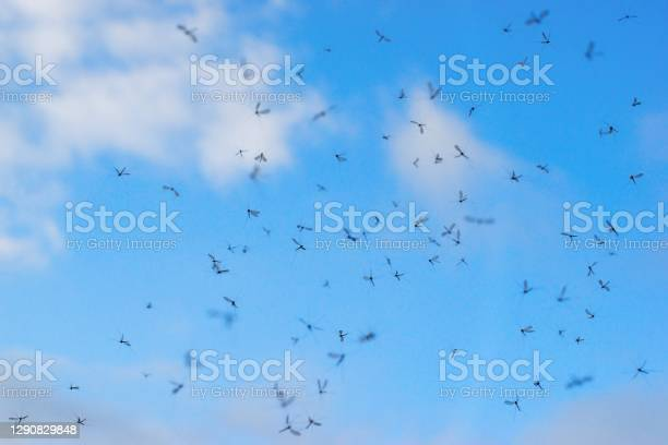 Photo of Mosquitos swarm flying on the blue sky