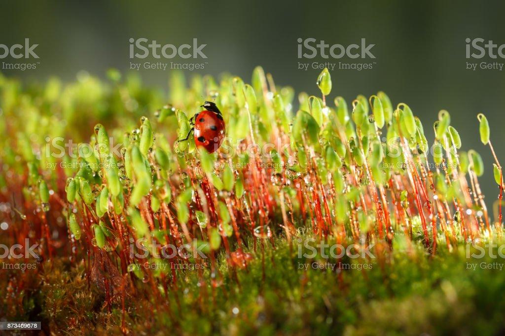 Moss and ladybug after rain stock photo