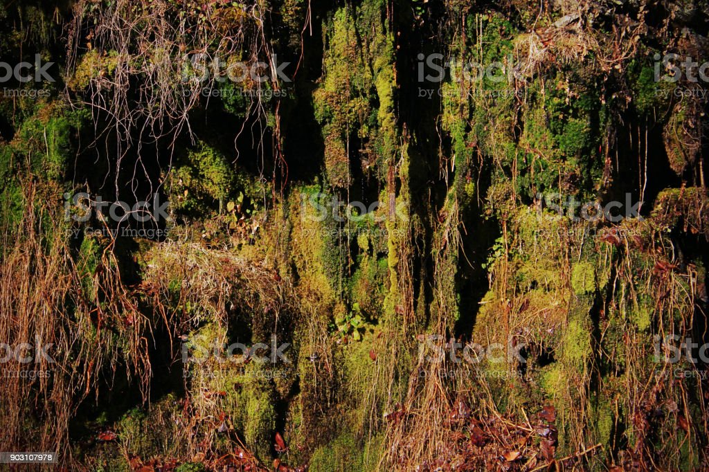 Moss and Lichen Hanging Down from Tree Roots on the Mountain Side stock photo