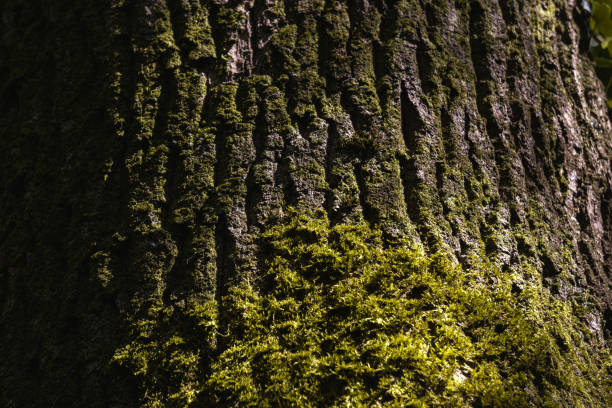Moss and tree bark texture. Selective focus. stock photo