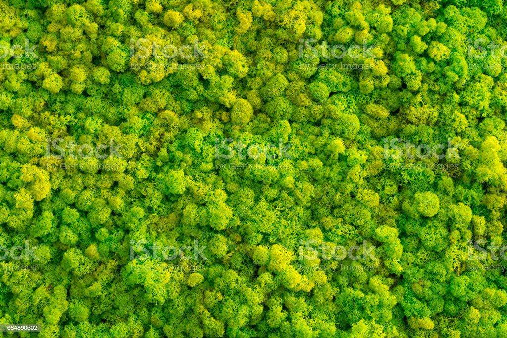 Moss background made of reindeer lichen Cladonia rangiferina. stock photo