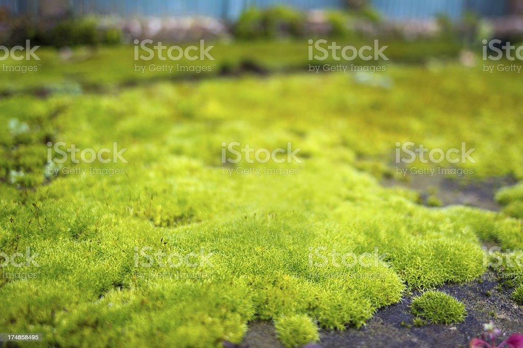 Moss close-up royalty-free stock photo