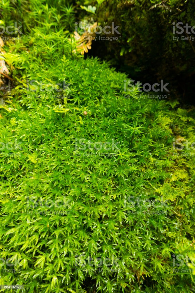 Moss close-up foto stock royalty-free