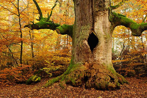 moss 덮힘 앤시언트 할로우 오크 나무 in 베스키드 (beskid) 산의 가을 숲 - 속이 빈 뉴스 사진 이미지