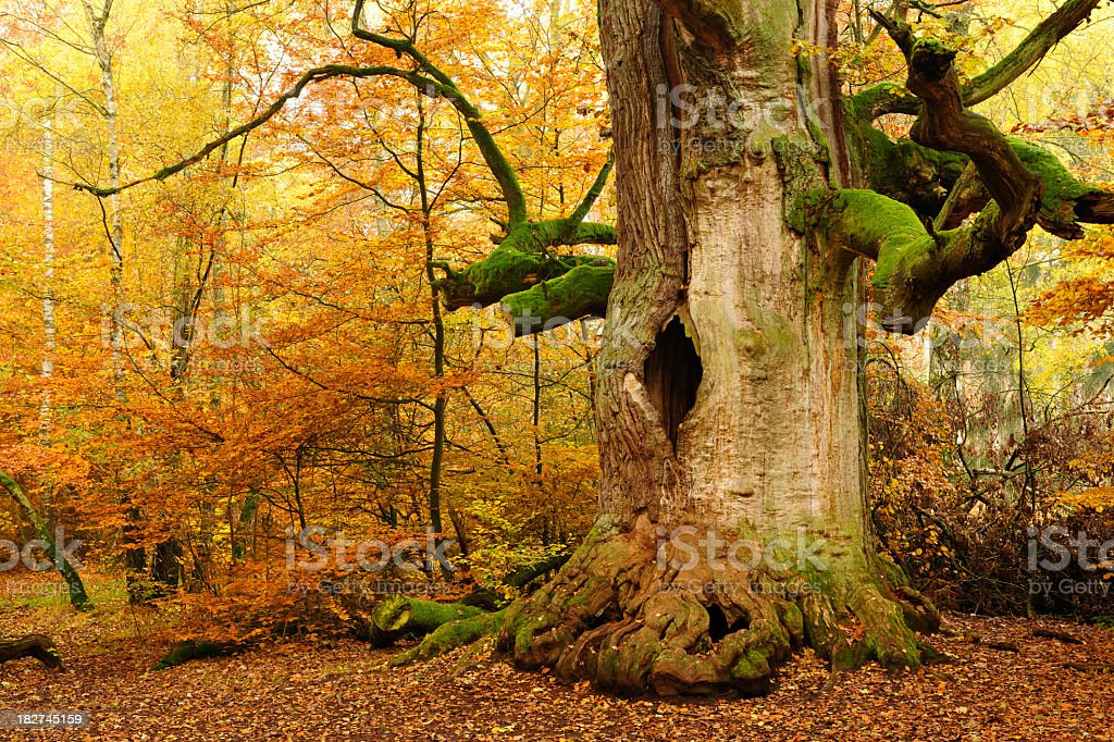 Moss Covered Ancient Hollow Oak Tree in Autumn Forest stock photo