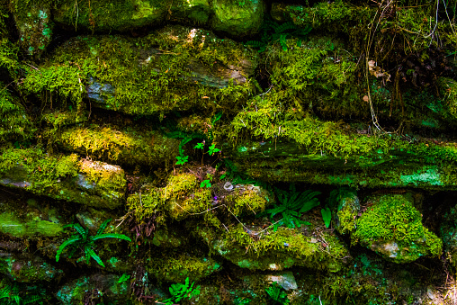 An old Irish Rock Wall covered in various colors and textures of bright green moss, ferns, etc... Perfect for backgrounds.
