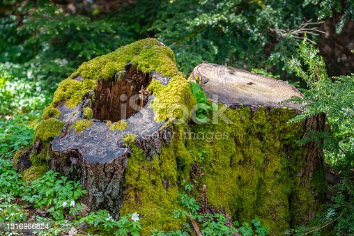 istock Moss covered tree stump in the woods 1316966824