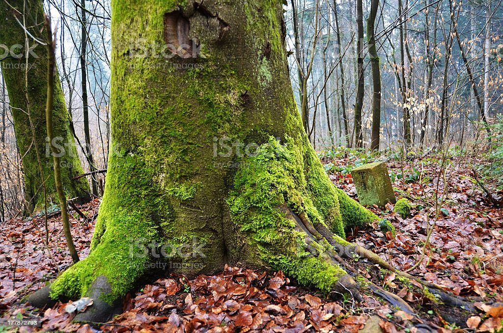 Moss covered tree trunk royalty-free stock photo