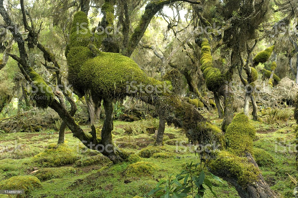 Moss covered tree trunks stock photo