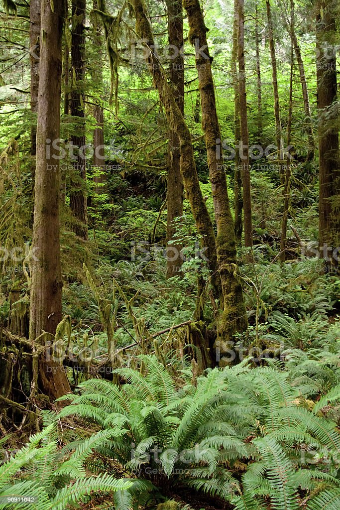 Moss covered tree trunks royalty-free stock photo