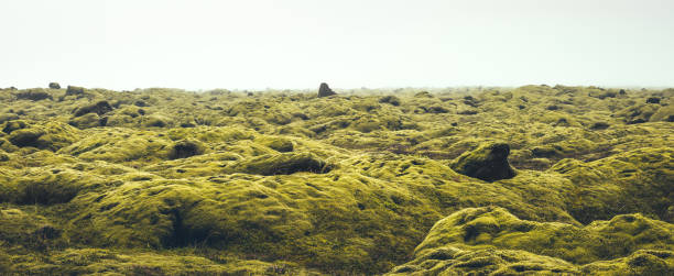 moss field in iceland - borchee stock pictures, royalty-free photos & images