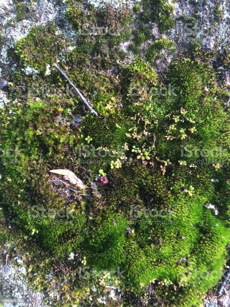 Moss garden miniature - Mt Cole Victoria royalty-free stock photo