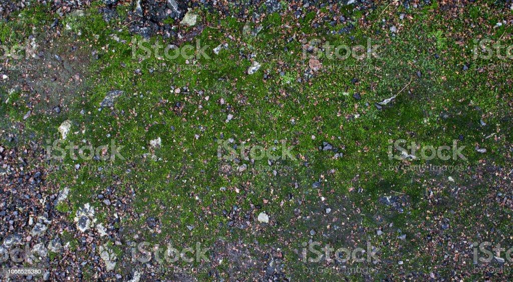 Moss green grunge texture. Moss background. Green moss on grunge...